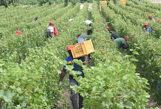 Dodici ore di lavoro al giorno per 4 euro l'ora: schiavi nei campi del Casertano sfruttati dagli italiani