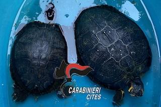 Passeggia con due tartarughe esotiche in Pignasecca, super-multa da 2.300 euro a 50enne