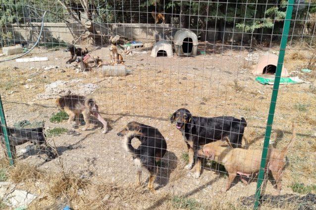 Canile abusivo a Sessa Aurunca, sequestrati 34 animali malati e senza microchip