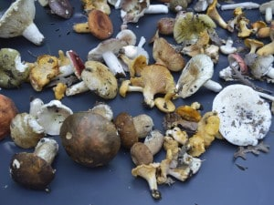 Funghi raccolti a Padula