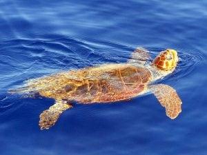 Una tartaruga Caretta Caretta