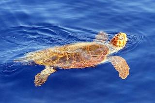 Tartaruga trovata morta su una spiaggia del Cilento: il suo stomaco pieno di plastica