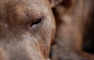Napoli, ritrovato il cane della donna trascinata con il guinzaglio dall'ex-compagno