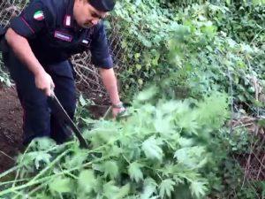 La piantagione di marijuana scoperta sui Monti Lattari