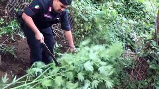 Piantagione di marijuana scoperta sui Monti Lattari, la Giamaica della Campania