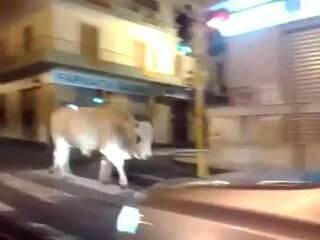 Salerno, una mucca a spasso per la città: la scena surreale vista dagli automobilisti