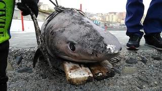 Uno squalo di 100 kg era arrivato sulla costa fra Ercolano e Torre del Greco