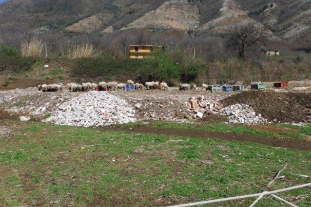 Le pecore a passeggio sul terreno adibito a discarica abusiva di rifiuti.