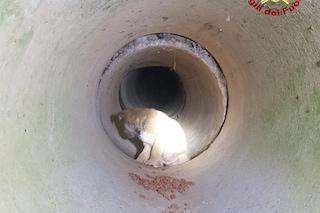 Cucciolo di Labrador resta incastrato in un tubo: salvato dai pompieri, ora cerca casa