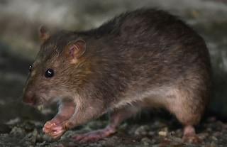 Cava de' Tirreni, topi invadono la scuola: il sindaco ordina la chiusura del plesso ai Pianesi