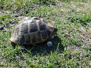 Camilla, la tartaruga che torna a camminare grazie ad una rotella al posto di una zampa