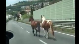 Coppia di cavalli a spasso contromano sulla tangenziale di Salerno