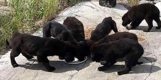 Qualcuno uccide i cani in provincia di Salerno con polpette avvelenate