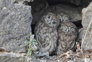 Tre giovani civette nel Parco del Vesuvio: lo scatto diventa virale