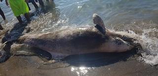 Un delfino morto sulla spiaggia di Torregaveta davanti agli occhi dei bagnanti