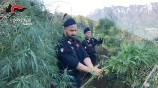 Monti Lattari, la Giamaica della Campania: scoperte e tagliate 3mila piante di marijuana