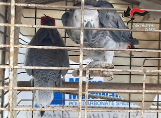 Procida, due pappagalli in una gabbia troppo piccola: denunciato titolare di un lido