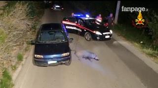 Cinghiale investito resta incastrato sotto un'auto: salvato dai vigili del fuoco e liberato