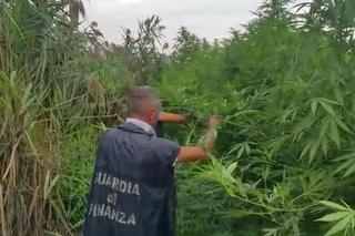 Nola, l'elicottero scopre una piantagione di marijuana sulle montagne da 260mila euro