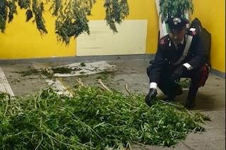 Scafati, piante di marijuana nascoste nello scafo della barca in giardino, arrestato
