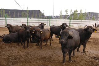 Travolto e ucciso dalle bufale, incidente mortale in una azienda agricola di Capaccio