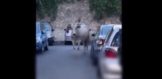 Sorpresa a Salerno, mucca passeggia in strada a Pastena tra le auto e i pedoni
