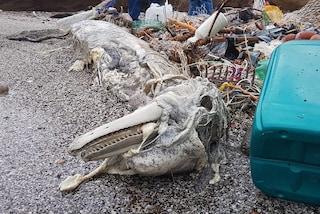Napoli, un delfino morto nel Parco Sommerso di Gaiola: intrappolato nelle reti da pesca