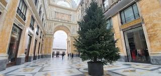Anche quest'anno c'è l'albero di Natale in Galleria Umberto. Fra quanti giorni lo ruberanno?