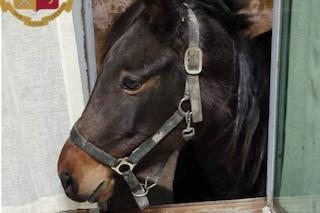 Napoli, un cavallo gira per le strade senza meta: recuperato e riportato al proprietario