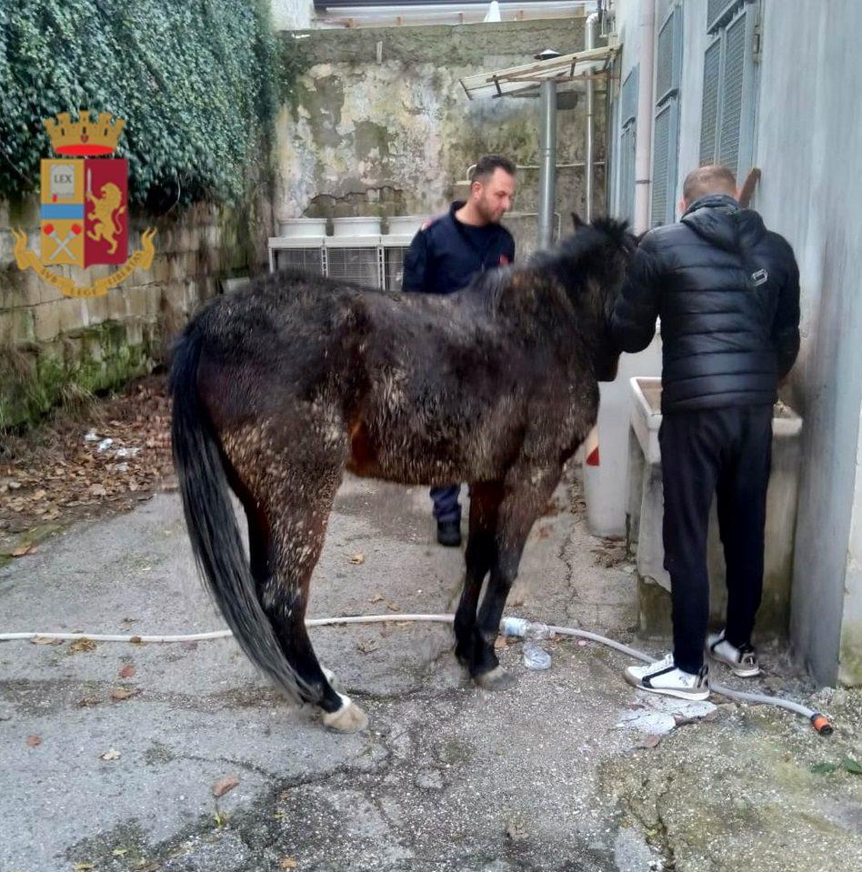 Il cavallo recuperato dagli agenti di Polizia.