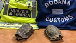 Due tartarughe di una specie protetta sequestrate all'aeroporto di Napoli Capodichino