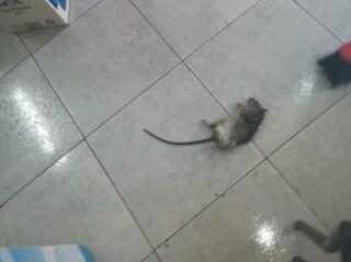 Trovato un topo morto nella scuola San Giovanni Bosco di Volla: lezioni sospese