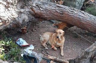 Cava de' Tirreni, padrone muore schiacciato da un albero: il cane Charlie lo veglia fino alla fine