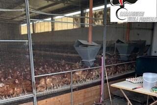 Benevento, focolaio di salmonella: abbattute mille galline e sequestrate 55mila uova