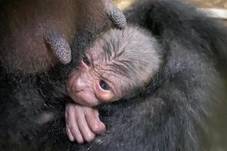 Nasce un cucciolo di siamango, festa allo zoo di Napoli
