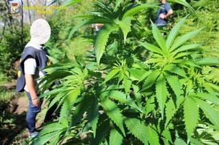 Due piantagioni di marijuana scoperte dalla Finanza in penisola Sorrentina