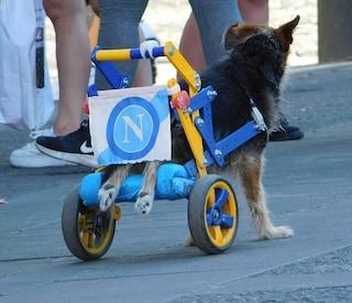 Costruisce la sedia a rotelle 'Forza Napoli' per un cane con le zampe paralizzate