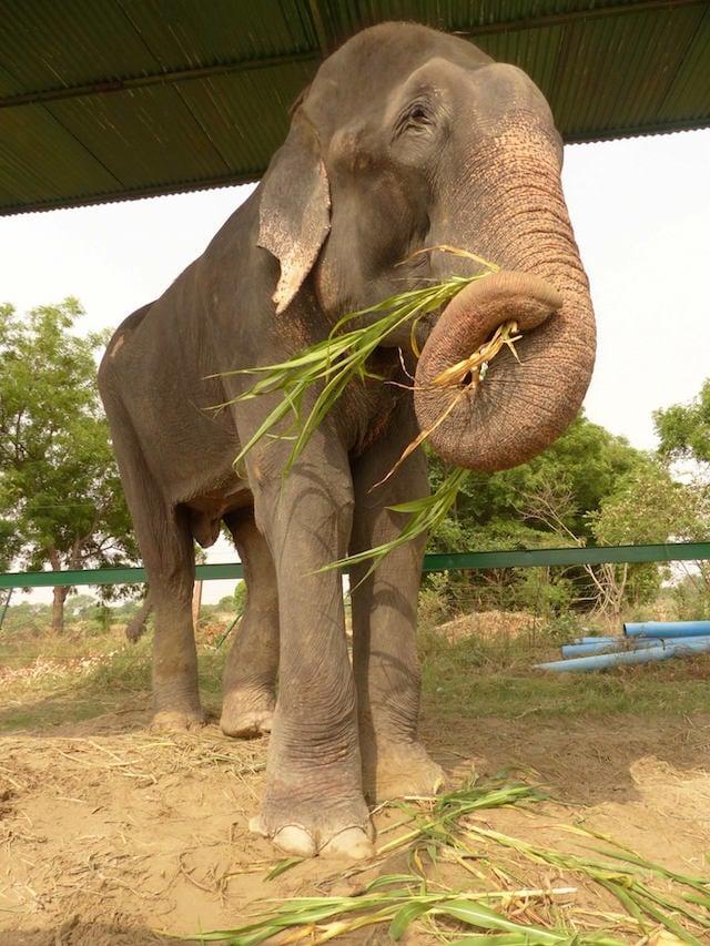 Oggi Raju è libero e felice e vive con altri elefanti