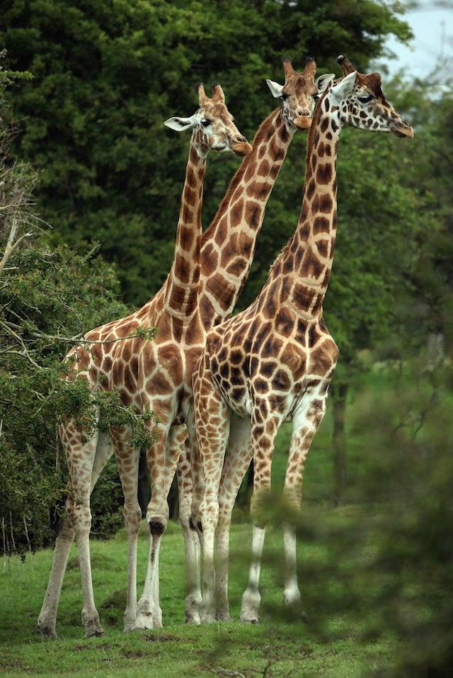 La caccia e l'inquinamento dell'uomo sono nemici delle giraffe