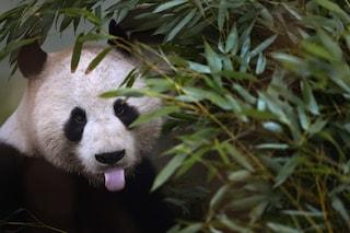 I panda sono più resistenti di quanto si pensi, nuove speranze contro l'estinzione