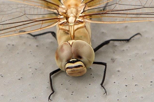 Scoperto come la libellula caccia la sue prede
