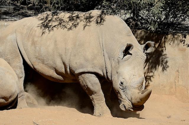 I rinoceronti bianchi sono stati sterminati per il loro corno