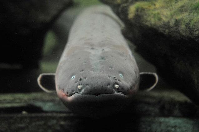 Conosciute come anguille elettriche il loro vero nomer è Electrophorus electricus