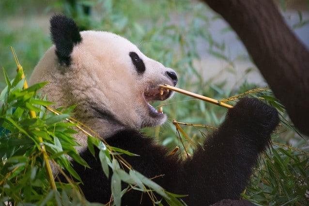 I panda sono pronti ad adattarsi basta che ci sia il bambu