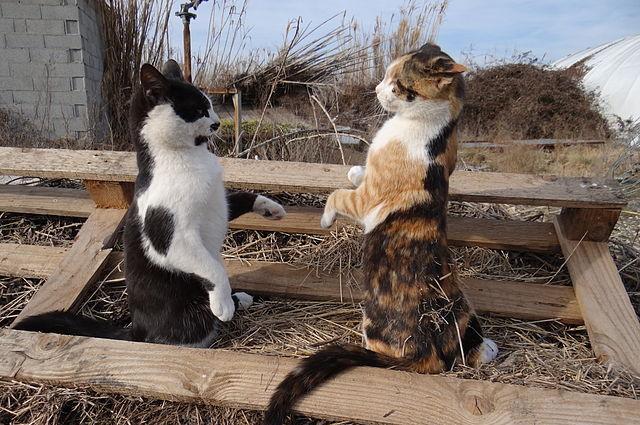 Due gatti che si preparano al confronto