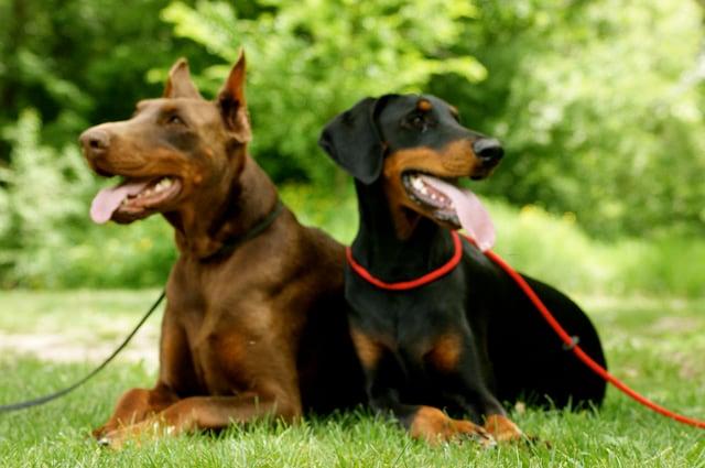 Ogni razza di cane ha la sua leggenda così anche il Dobermann