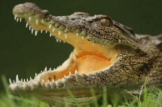 Lacrime di coccodrillo e il cervello esplosivo dei Dobermann: 10 bugie sugli animali