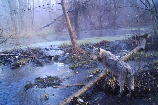 Scoperto anche il lupo grigio tra i mammeferi della zona