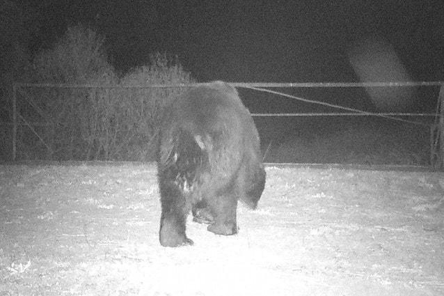 L'orso bruno ricompare a Chernobyl dopo 100 anni