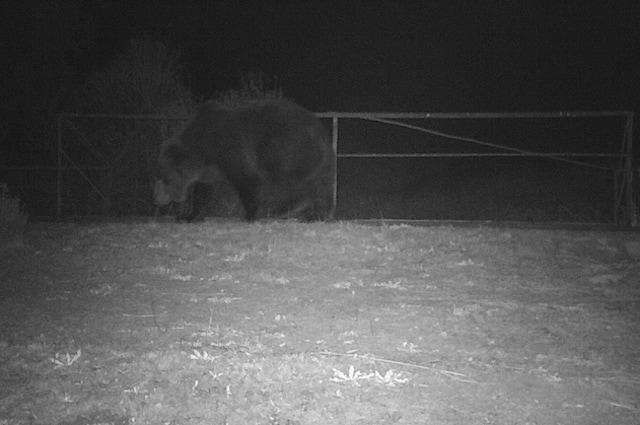 Sergey Gashchak ha immortalato l'orso bruno